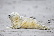 Germany, Schleswig-Holstein, Helgoland, Duene Island, grey seal pup (Halichoerus grypus) lying on the beach - FOF006134