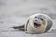 Germany, Schleswig-Holstein, Helgoland, Duene Island, harbour seal pup (Phoca vitulina) lying on the beach - FOF006137