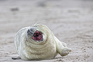 Germany, Schleswig-Holstein, Helgoland, Duene Island, grey seal pup (Halichoerus grypus) with mouth wide open lying on the beach - FOF006143