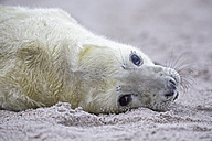 Germany, Schleswig-Holstein, Helgoland, Duene Island, grey seal pup (Halichoerus grypus) lying on the beach, partial view - FO006146