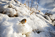 UK, Scotland, Isle of Skye, European Robin (Erithacus Rubecula) sitting on snow in the sun - SMAF000196