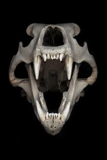 Skull of polar bear (Ursus maritimus) in front of black background - MW000021