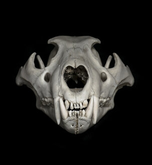 Skull of lion (Panthera leo) in front of black background - MW000024