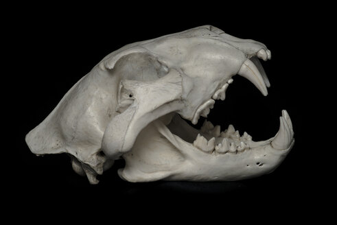 Skull of lion (Panthera leo) in front of black background - MW000027