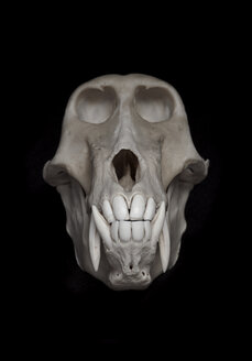 Skull of baboon (Papio) in front of black background - MW000030