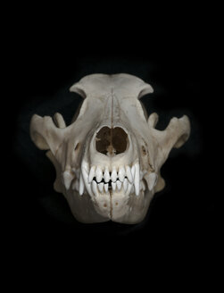 Skull of wolf (Canis lupus) in front of black background - MW000033