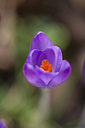 Germany, purple Crocus - MYF000211