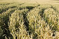 Germany, Rhineland-Palatinate, Andernach, Tire tracks in wheat field - CSF020917
