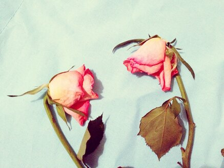Withered roses, lat. rosa, studio - RIMF000127
