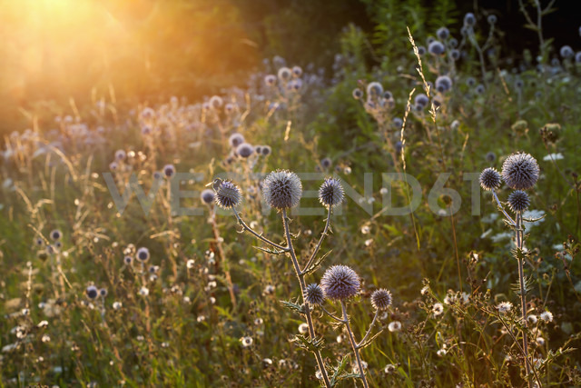 Garden with blossoming thistles (Carduus) at sunlight - ND000429