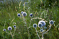 Meadow with blossoming thistles (Carduus) - NDF000431