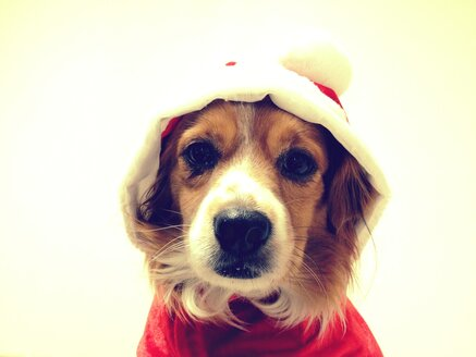 Dog with christmas jacket, king charles mix - RIMF000129