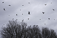 Flock of crows flying in front of rain clouds in winter - MUF001437
