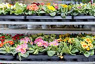 Pallets of primroses at market - HLF000416