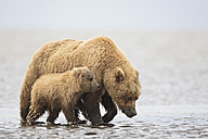 USA, Alaska, Lake Clark National Park and Preserve, Brown bear and bear cub (Ursus arctos), foraging mussels - FO006253