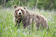 USA, Alaska, Lake Clark National Park and Preserve, Brown bear (Ursus arctos) - FOF006244