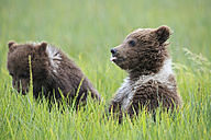 USA, Alaska, Lake Clark National Park and Preserve, Brown bear cubs (Ursus arctos) - FOF006228