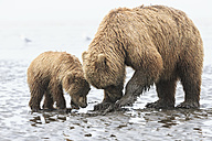 USA, Alaska, Lake Clark National Park and Preserve, Brown bear and bear cub (Ursus arctos), foraging mussels - FOF006224