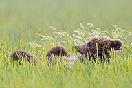 USA, Alaska, Lake Clark National Park and Preserve, Brown bear cub (Ursus arctos) lying on meadow - FO006221