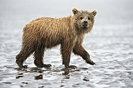 USA, Alaska, Lake Clark National Park and Preserve, Brown bear cub (Ursus arctos) - FO006217