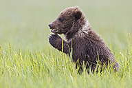 USA, Alaska, Lake Clark National Park and Preserve, Brown bear cub (Ursus arctos) sitting on meadow - FO006215