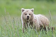 USA, Alaska, Lake Clark National Park and Preserve, Brown bear cub (Ursus arctos) on meadow - FOF006202