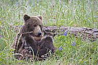 USA, Alaska, Lake Clark National Park and Preserve, Brown bear and bear cubs (Ursus arctos), lactating - FOF006332
