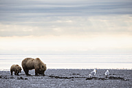 USA, Alaska, Lake Clark National Park and Preserve, Brown bear and bear cub (Ursus arctos), foraging mussels - FOF006196