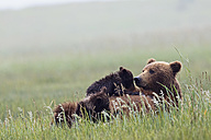 USA, Alaska, Lake Clark National Park and Preserve, Brown bear and bear cubs (Ursus arctos), lactating - FOF006337