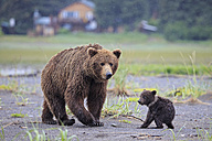 USA, Alaska, Lake Clark National Park and Preserve, Brown bear with cubs - FOF006296