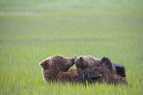 USA, Alaska, Lake Clark National Park and Preserve, Brown bear and bear cub (Ursus arctos), lactating - FO006338