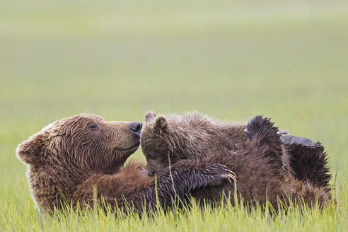 USA, Alaska, Lake Clark National Park and Preserve, Brown bear and bear cub (Ursus arctos), lactating - FOF006339
