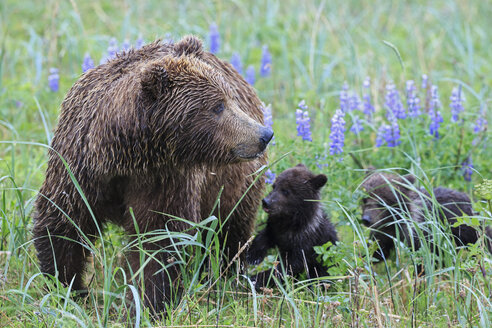USA, Alaska, Lake Clark National Park and Preserve, Brown bear with cubs - FOF006297