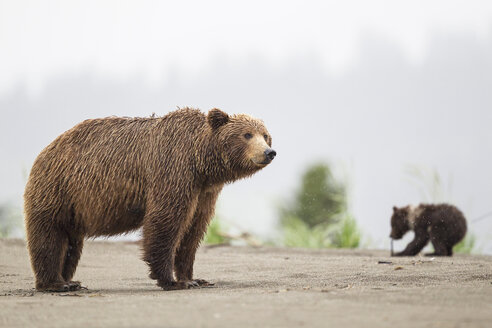 USA, Alaska, Lake Clark National Park and Preserve, Brown bear with cubs - FO006298