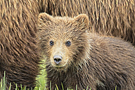 USA, Alaska, Lake Clark National Park and Preserve, Brown bear cub (Ursus arctos) and bear cub - FO006184