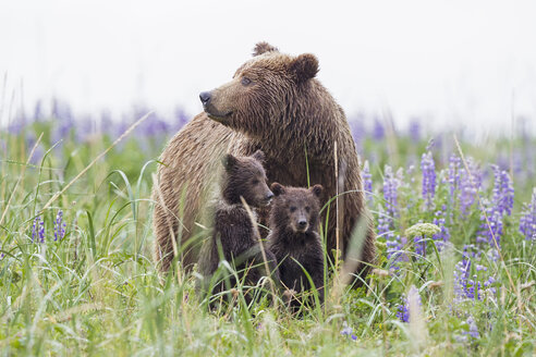 USA, Alaska, Lake Clark National Park and Preserve, Brown bear with cubs - FOF006302