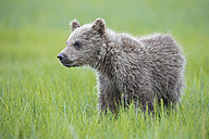 USA, Alaska, Lake Clark National Park and Preserve, Brown bear cub (Ursus arctos) standing on meadow - FOF006276