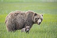 USA, Alaska, Lake Clark National Park and Preserve, Brown bear with cubs - FOF006303