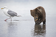 USA, Alaska, Lake Clark National Park and Preserve, Brown bear cub (Ursus arctos) eating a mussel, seagull - FOF006256