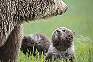 USA, Alaska, Lake Clark National Park and Preserve, Brown bear with cubs - FOF006308