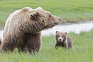 USA, Alaska, Lake Clark National Park and Preserve, Brown bear with cubs - FO006309