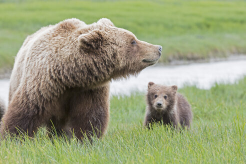 USA, Alaska, Lake Clark National Park and Preserve, Brown bear with cubs - FO006309