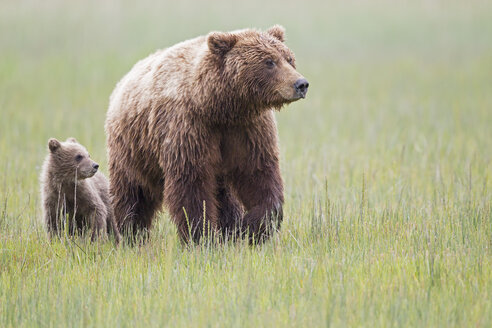 USA, Alaska, Lake Clark National Park and Preserve, Brown bear with cubs - FOF006312