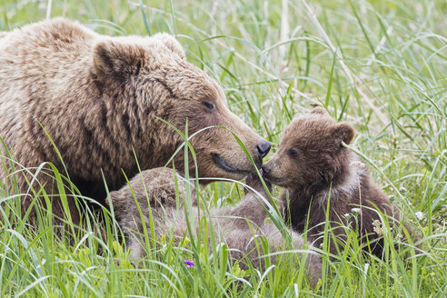 USA, Alaska, Lake Clark National Park and Preserve, Brown bear with cubs - FOF006315