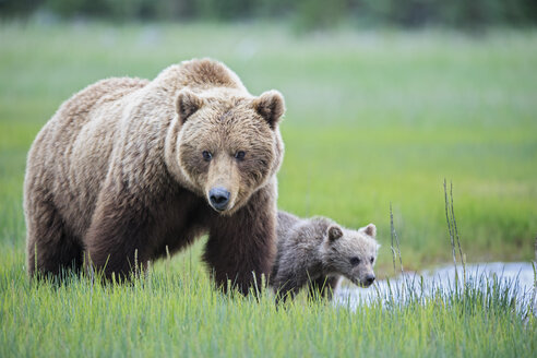 USA, Alaska, Lake Clark National Park and Preserve, Brown bear with cubs - FO006316