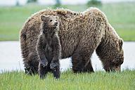 USA, Alaska, Lake Clark National Park and Preserve, Brown bear with cubs - FOF006324