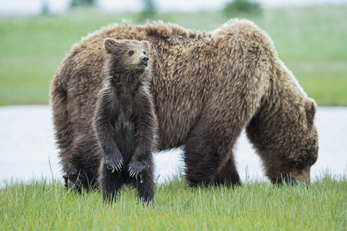 USA, Alaska, Lake Clark National Park and Preserve, Brown bear with cubs - FOF006324