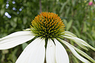 Germany, Bavaria, white coneflower (Echinacea purpure 'Alba'), close-up - SIEF005150