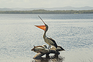 Australia, New South Wales, Myall Lakes National Park, groupf of three pelicans (Pelecanus conspicillatus) - FBF000277