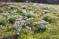 Germany, Mecklenburg-Western Pomerania, Ruegen, meadow with snowdrops (Galanthus) - MJF000897